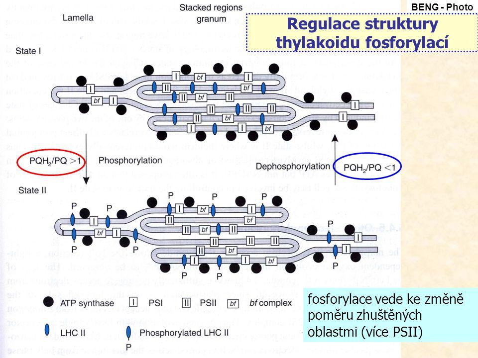 fosforylace vede ke změně poměru zhuštěných oblastmi (více PSII) Regulace struktury thylakoidu fosforylací