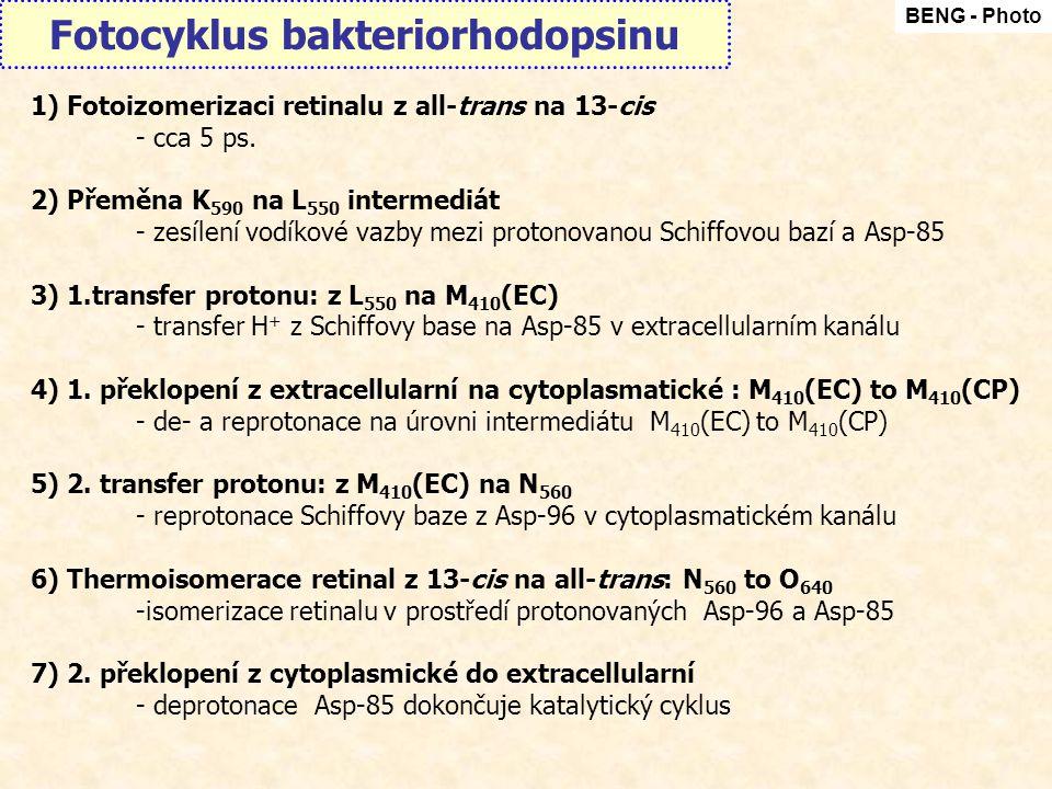 Fotocyklus bakteriorhodopsinu BENG - Photo 1) Fotoizomerizaci retinalu z all-trans na 13-cis - cca 5 ps. 2) Přeměna K 590 na L 550 intermediát - zesíl