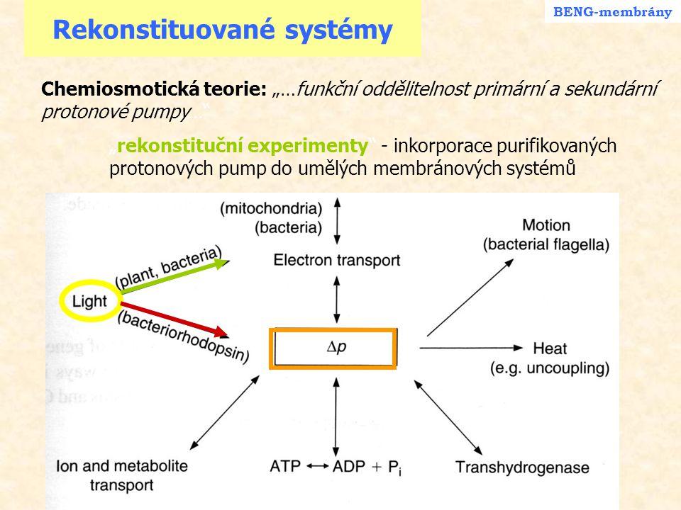 """Schéma bakteriálního fotosyntetického centra BENG - Photo Přechod elektronu jednou větví reakčního centra Rhodobacter sphaeroides -""""P 870 = dimer BChl, po absorbci kvanta ztrácí e - - ox.BChl + má EPR signál - další molekula BChl zprostředkuje přenos na Bpheo - stabilizace radikálu UQ.- vazbou na protein - 2 molekuly UQ = převod procesu na 2-elektronový a tvorba  p e-e- e-e- e-e- e-e- e-e- e-e- e-e- 2 H + UQH 2 * + + + UQ B H 2 h"""