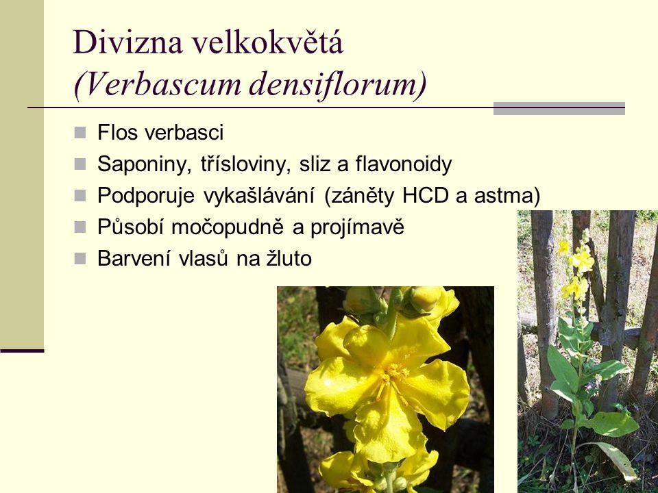 Divizna velkokvětá (Verbascum densiflorum) Flos verbasci Saponiny, třísloviny, sliz a flavonoidy Podporuje vykašlávání (záněty HCD a astma) Působí moč