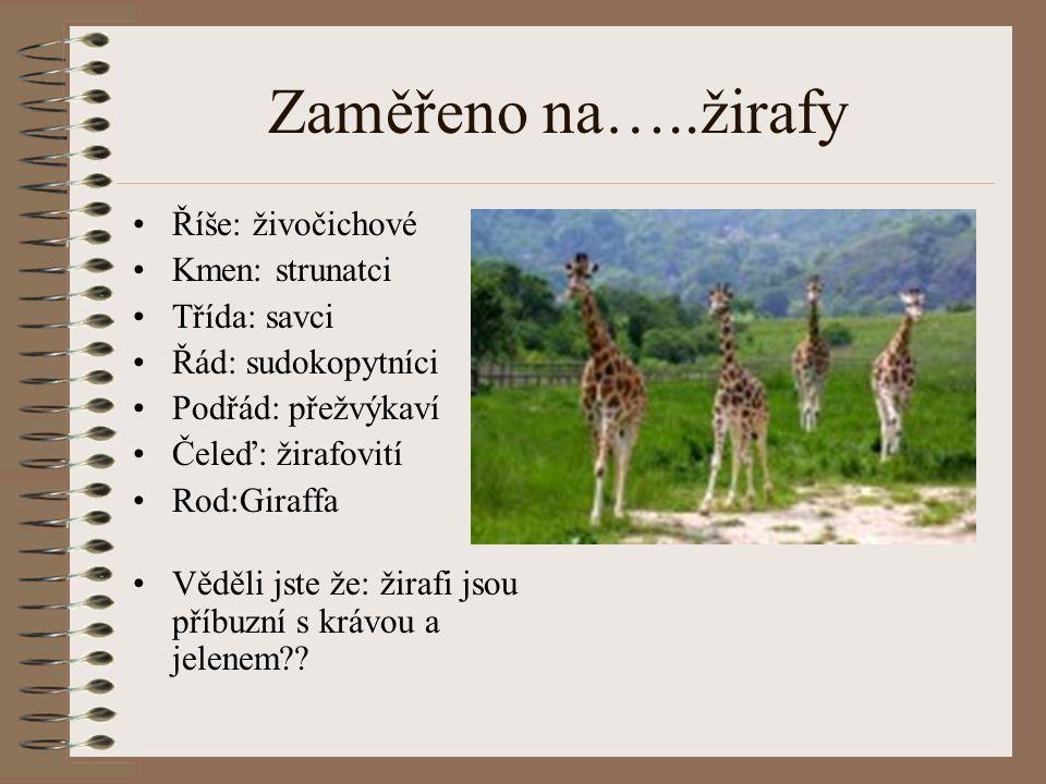 Zaměřeno na…..žirafy Říše: živočichové Kmen: strunatci Třída: savci Řád: sudokopytníci Podřád: přežvýkaví Čeleď: žirafovití Rod:Giraffa Věděli jste že