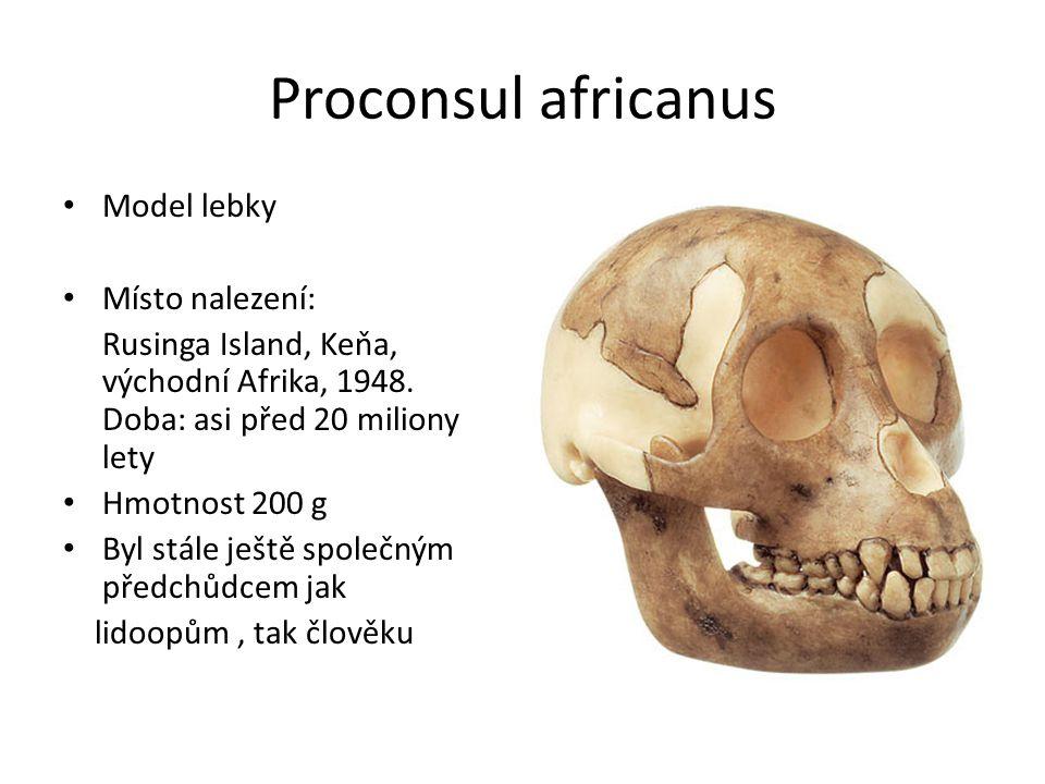 Proconsul africanus Model lebky Místo nalezení: Rusinga Island, Keňa, východní Afrika, 1948. Doba: asi před 20 miliony lety Hmotnost 200 g Byl stále j