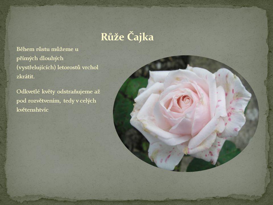 Všechny růže vysazujeme o 5 cm hlouběji než rostly ve školce Po výsadbě růže všech skupin v předjaří radikálně zřežeme na 1 až 3 zbývající očka