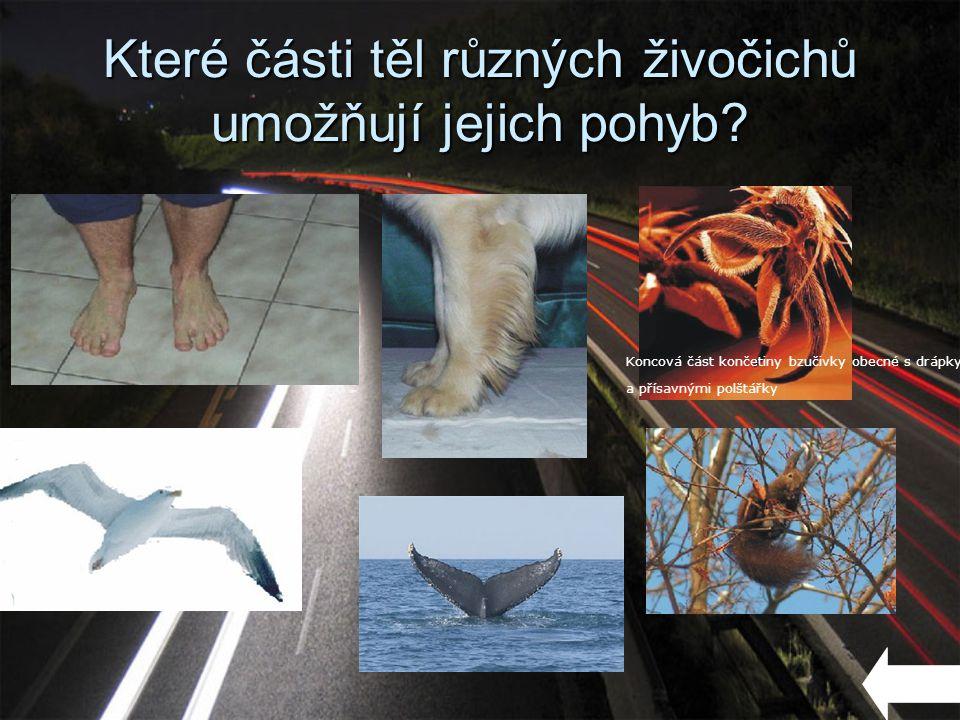 Které části těl různých živočichů umožňují jejich pohyb? Koncová část končetiny bzučivky obecné s drápky a přísavnými polštářky