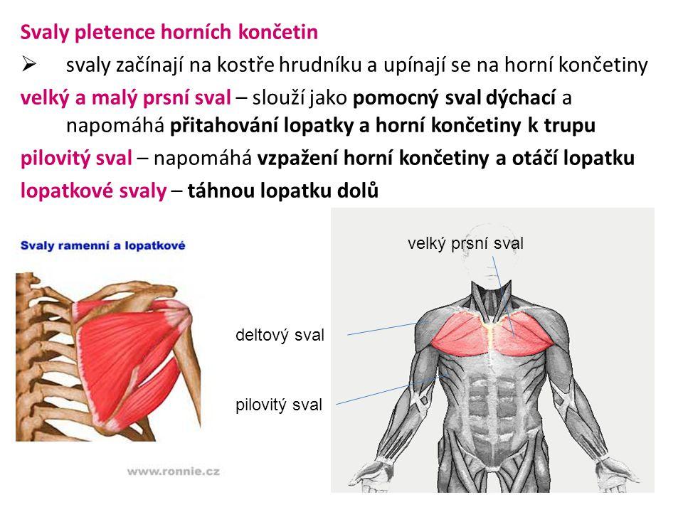 Svaly pletence horních končetin  svaly začínají na kostře hrudníku a upínají se na horní končetiny velký a malý prsní sval – slouží jako pomocný sval