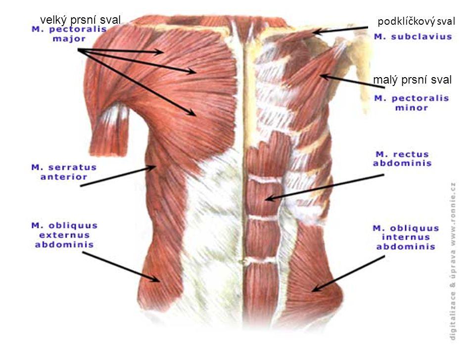 malý prsní sval velký prsní sval podklíčkový sval
