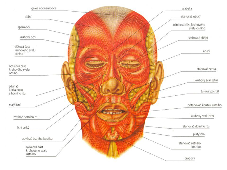 Boční a přední svaly břicha přímý sval břišní zevní šikmý sval vnitřní šikmý sval příčný sval břišní