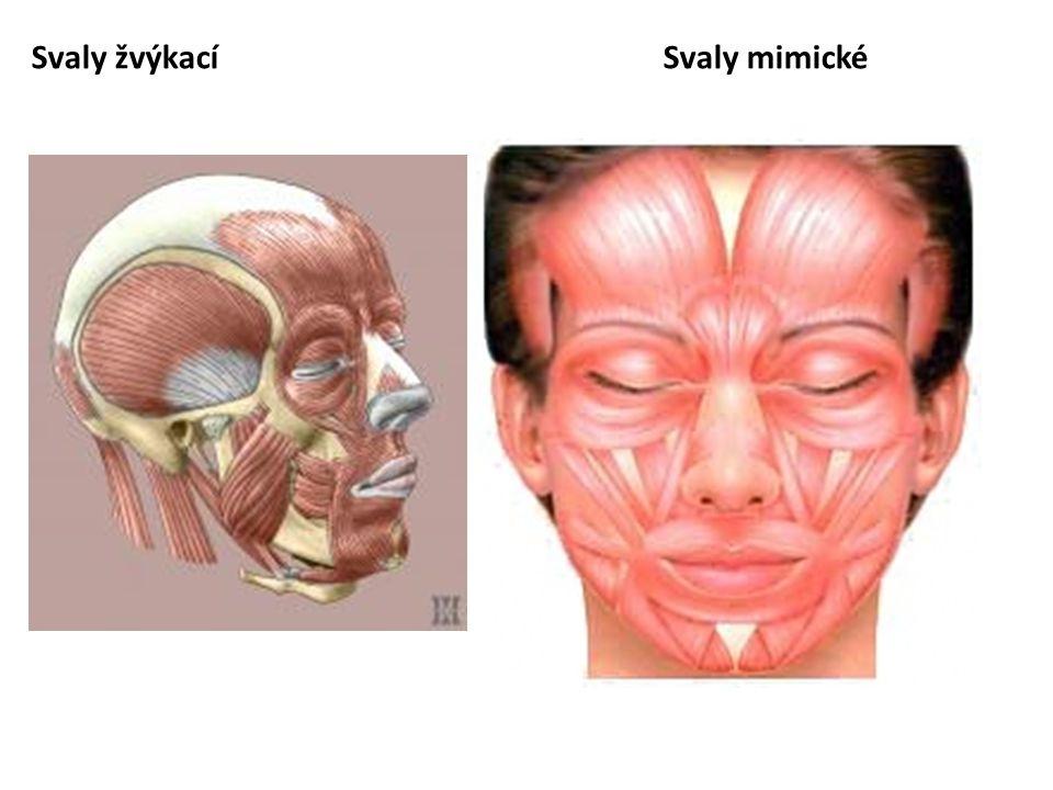 Svaly krku 1.hluboká skupina svalů – jsou uloženy před páteří, umožňují úklon a předklon hlavy 2.svaly po stranách krční páteře m.