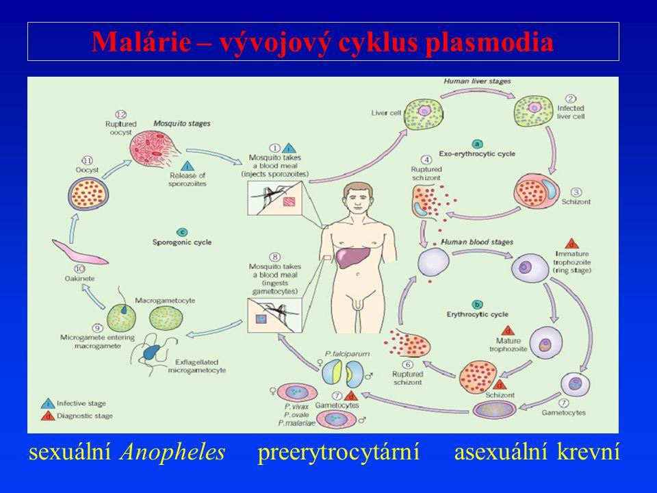 Malárie – vývojový cyklus plasmodia sexuální Anopheles preerytrocytární asexuální krevní