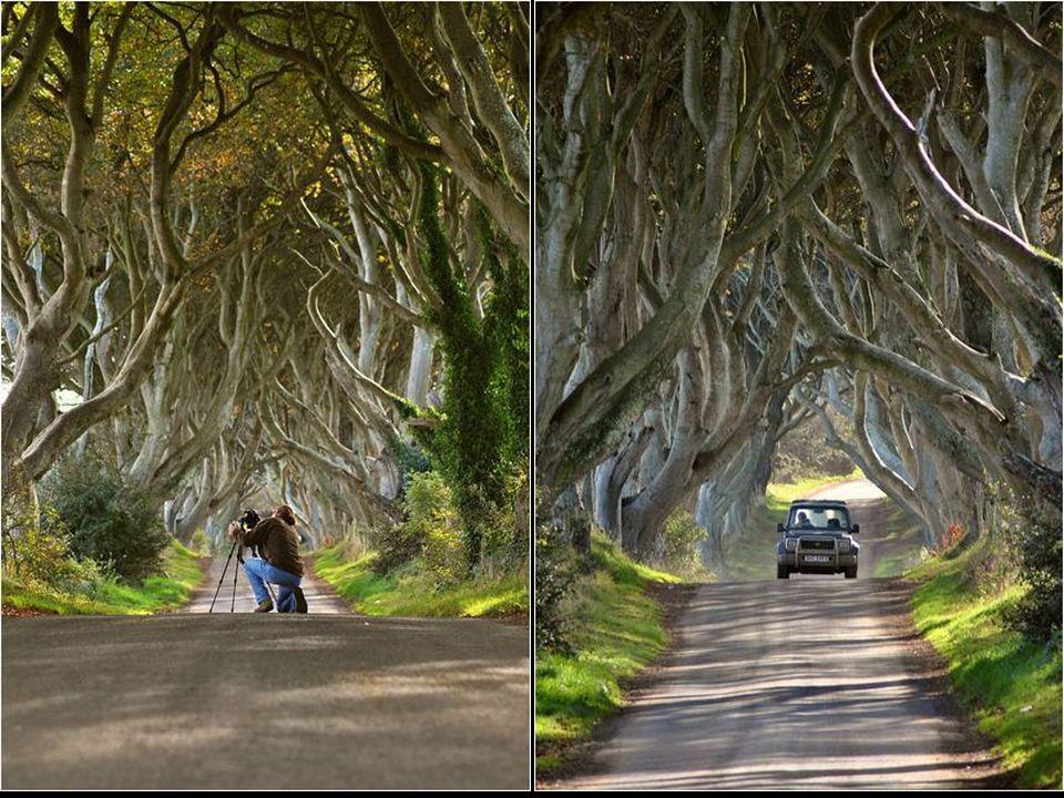 Č ást silnice poblí ž Bregagh Armoy v irském hrabství Antrim je lemována buky rostoucími tak t ě sn ě jeden vedle druhého, ž e musí tvrd ě bojovat o s