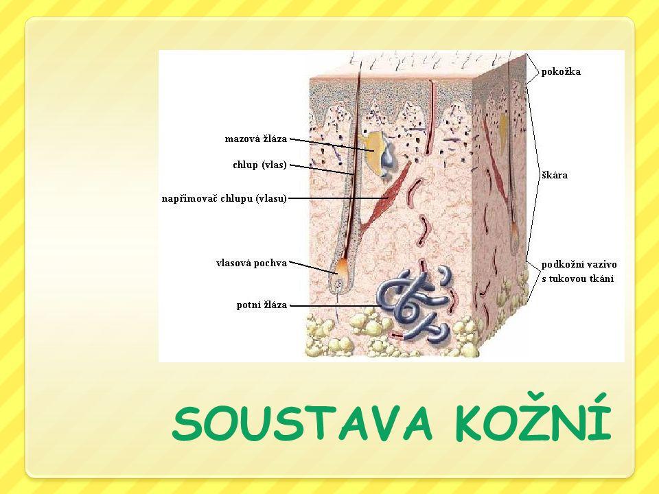 Kůže plošný orgán → pokrývá tělo (u dospělého člověka 1,5 – 1,8 m 2 a 4,5 kg ) průměrná síla vrstvy podkožního tuku u dospělé osoby s přiměřenou tělesnou hmotností je asi 1,5 – 2 cm