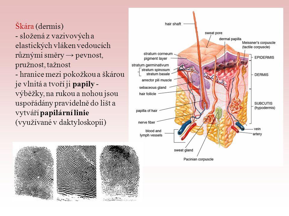 - škára obsahuje: » krevní cévy - vytváří hustou vlásečnicovou síť, vyživují škáru i pokožku, množstvím protékající krve je regulována teplota těla » potní žlázy - trubicovité, stočené do klubíčka, na kůži vyúsťují v potních pórech, produkují pot, jehož odpařováním se tělo ochlazuje; pot se skládá z vody, solí, odpadních látek, pachových látek, kyseliny mléčné (antibakteriální) - čerstvý pot je bez zápachu, vlivem bakterií se v něm tvoří kyselina máselná, která zapáchá » mazové žlázy - drobné žlázky při vlasových váčcích, maz rozprostřen v tenké vrstvě po pokožce a vlasech chrání před vysycháním a účinky vody, činí kůži vláčnou; na dlaních a chodidlech chybí (nejsou tam chlupy)