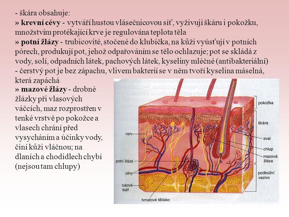 » mléčné žlázy - u člověka tvořeny 15 - 20 paprsčitě uspořádanými laloky obklopenými tukovým vazivem, z kterých vybíhají mlékovody vyúsťující na prsní bradavce » nervová tělíska - Meissnerova tělíska (hmatová) - čidla dotyku, Krauseova tělíska - receptory chladu, Ruffiniho tělíska - receptory tepla Podkožní vazivo (hypodermis) - řídké, bohaté na tuk, připevňuje kůži ke svalstvu - tuk slouží jako zásobárna energie, chrání vnitřní orgány, jeho rozložení je různé u mužů a u žen - nachází se zde Vater-Paciniho tělíska, která jsou receptory tlaku a tahu