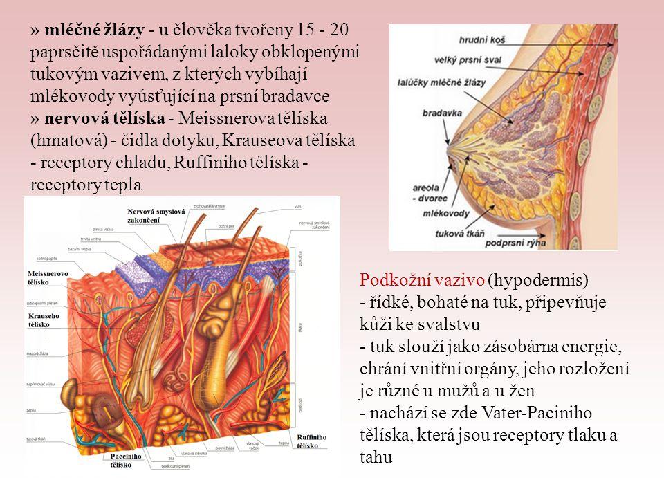 Přídatné kožní orgány - vlasy - z plochých zrohovatělých buněk vzniklých přeměnou buněk pokožky, vyrůstají z vlasových váčků ležících šikmo ve škáře, na ně připojen snopeček hladké svaloviny = napřimovač vlasů - barva vlasů závisí na pigmentu ve vlasových buňkách; ten se s věkem ztrácí, mezi vrstvy buněk vniká vzduch → šedivění - chlupy - podobná stavba jako vlas - nehty - zrohovatělé ploténky, tvoří se z pokožky, která pod nehtem vytváří nehtové lůžko