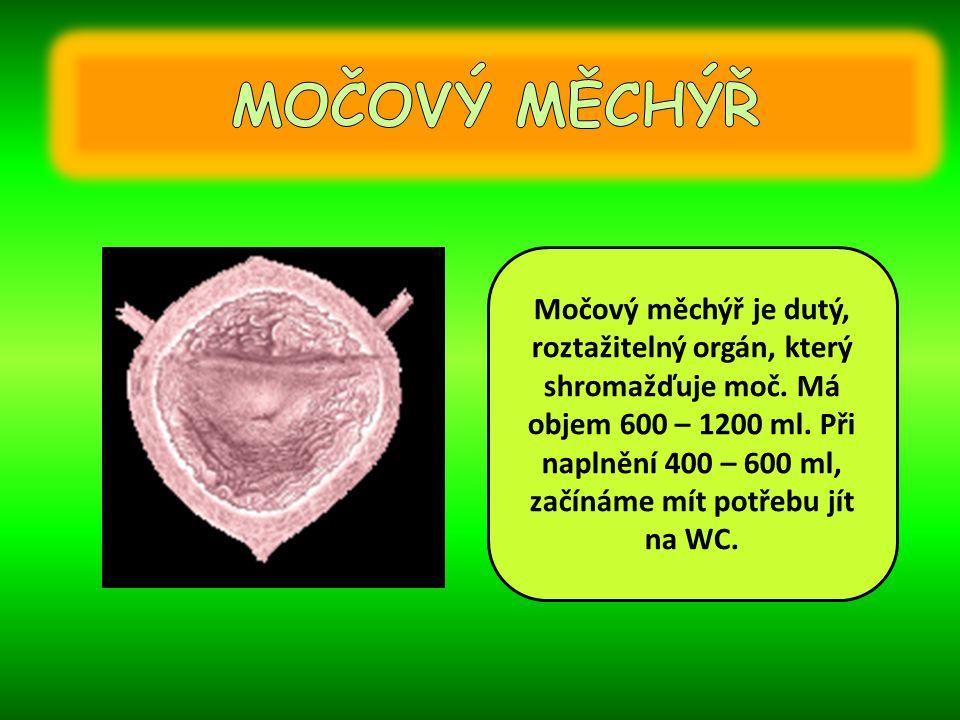 Močová trubice odvádí moč z močového měchýře.U žen je rovná a dlouhá asi 4cm.