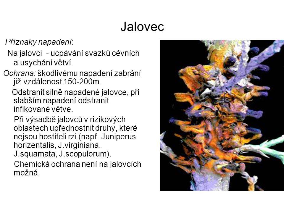 Jalovec Příznaky napadení: Na jalovci - ucpávání svazků cévních a usychání větví.