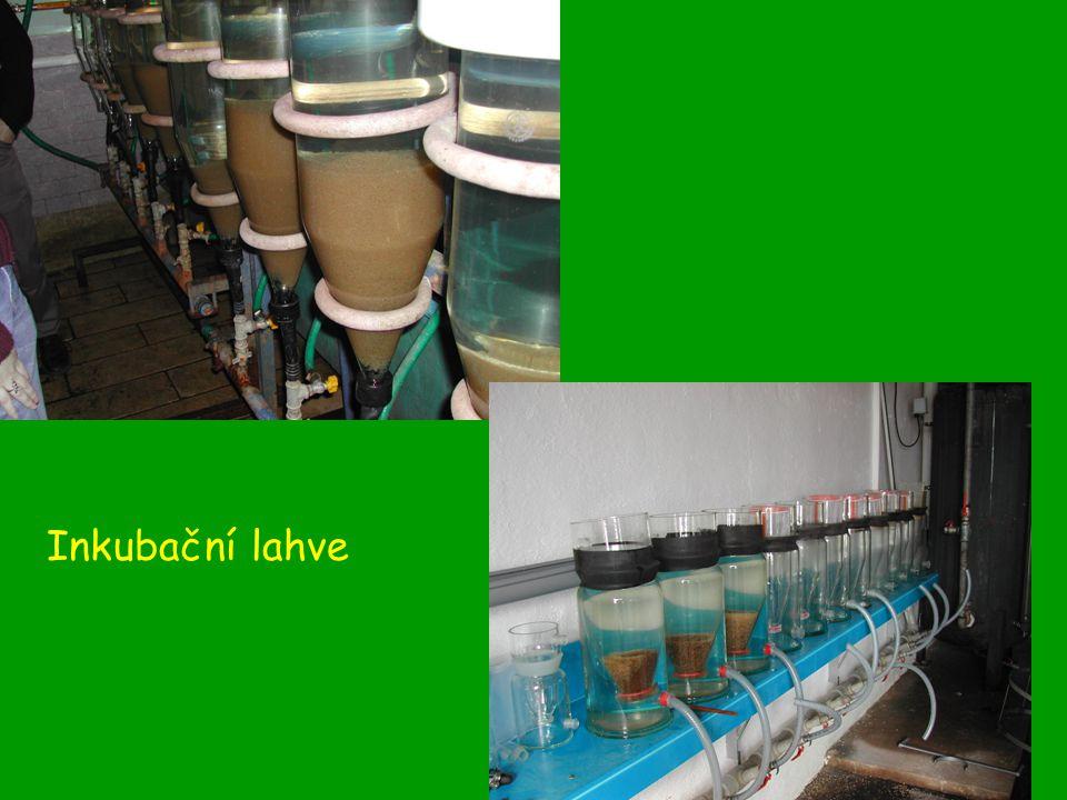 Produkce síhů Síh severní maréna a síh peleď.Nepůvodní rybí druhy.