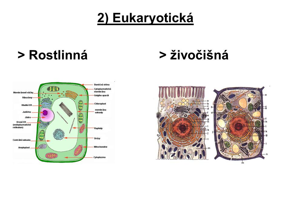2) Eukaryotická > Rostlinná > živočišná