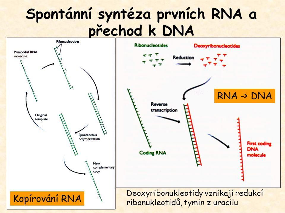 Spontánní syntéza prvních RNA a přechod k DNA Deoxyribonukleotidy vznikají redukcí ribonukleotidů, tymin z uracilu Kopírování RNA RNA -> DNA