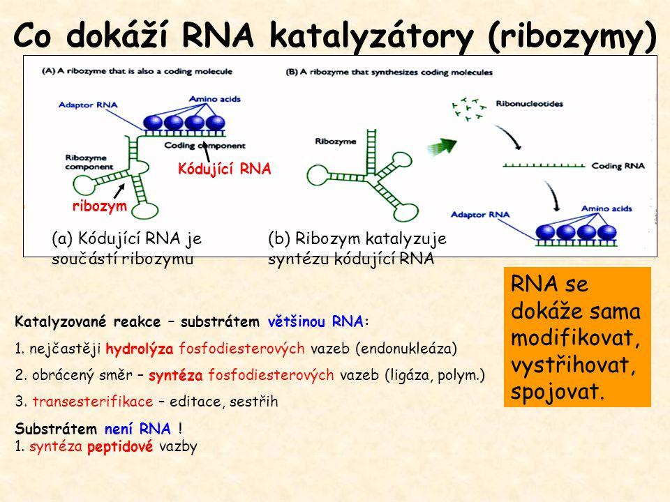 Co dokáží RNA katalyzátory (ribozymy) (a) Kódující RNA je součástí ribozymu (b) Ribozym katalyzuje syntézu kódující RNA Katalyzované reakce – substrát