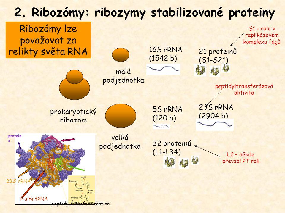 2. Ribozómy: ribozymy stabilizované proteiny 16S rRNA (1542 b) 21 proteinů (S1-S21) 5S rRNA (120 b) 23S rRNA (2904 b) 32 proteinů (L1-L34) velká podje
