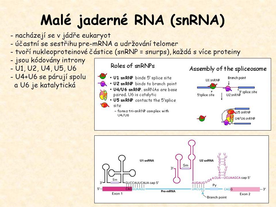 Malé jaderné RNA (snRNA) - nacházejí se v jádře eukaryot - účastní se sestřihu pre-mRNA a udržování telomer - tvoří nukleoproteinové částice (snRNP =
