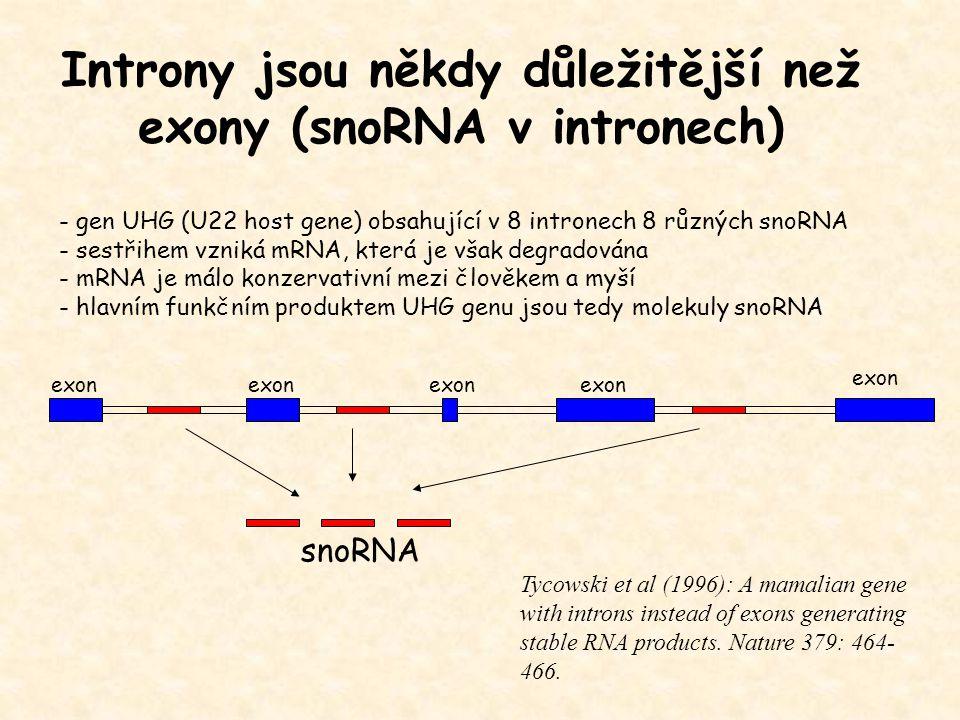 Introny jsou někdy důležitější než exony (snoRNA v intronech) - gen UHG (U22 host gene) obsahující v 8 intronech 8 různých snoRNA - sestřihem vzniká m