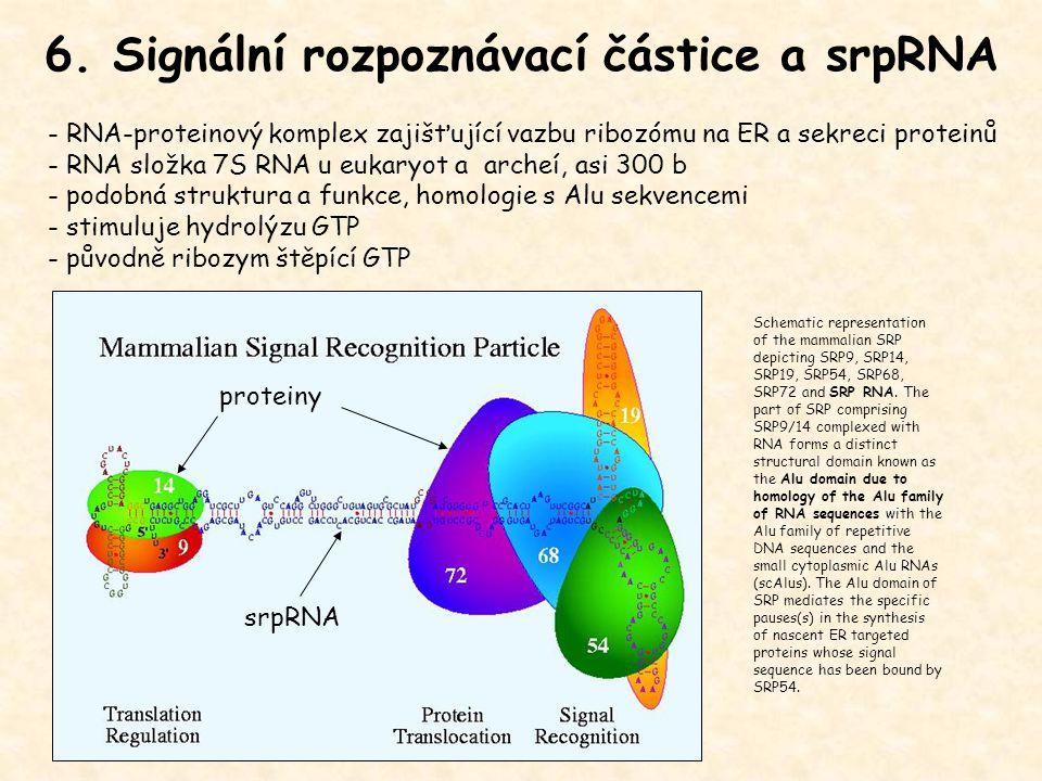 6. Signální rozpoznávací částice a srpRNA - RNA-proteinový komplex zajišťující vazbu ribozómu na ER a sekreci proteinů - RNA složka 7S RNA u eukaryot