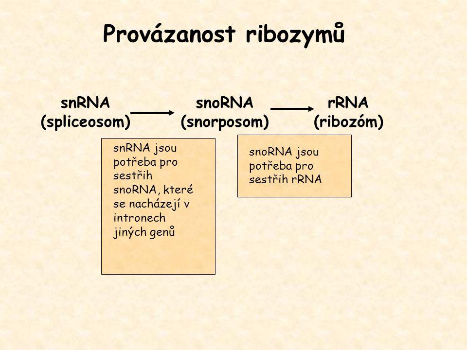 Provázanost ribozymů snRNA (spliceosom) snoRNA (snorposom) rRNA (ribozóm) snoRNA jsou potřeba pro sestřih rRNA snRNA jsou potřeba pro sestřih snoRNA,