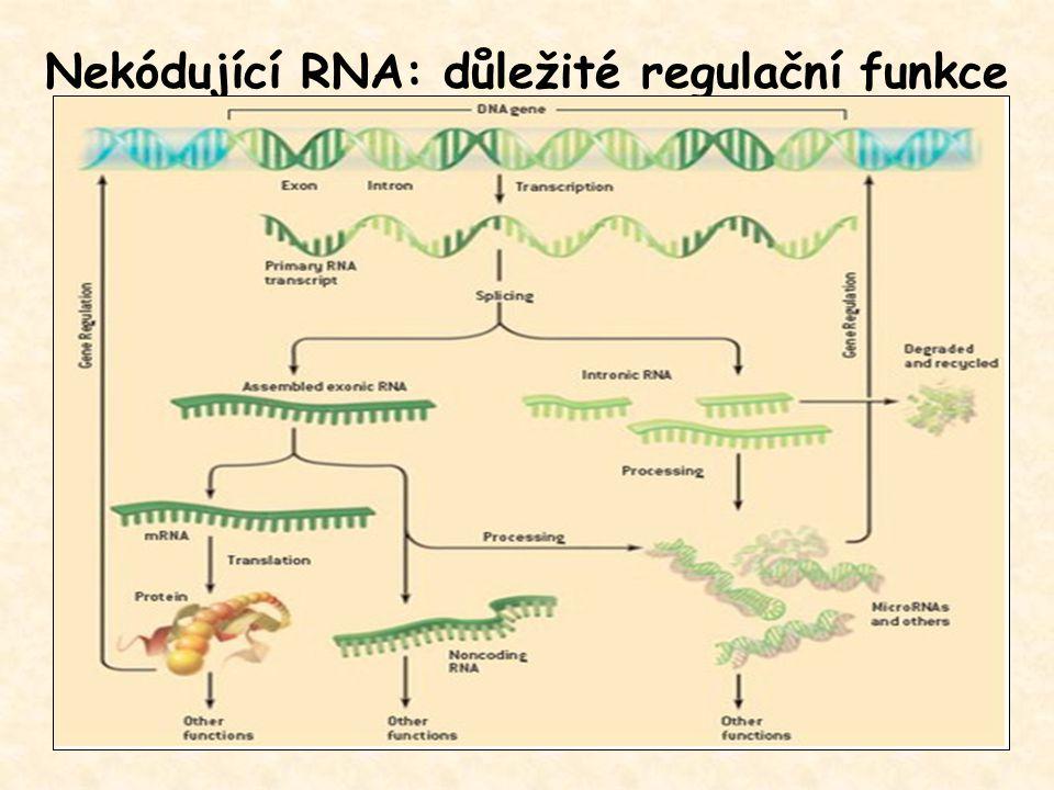Nekódující RNA: důležité regulační funkce