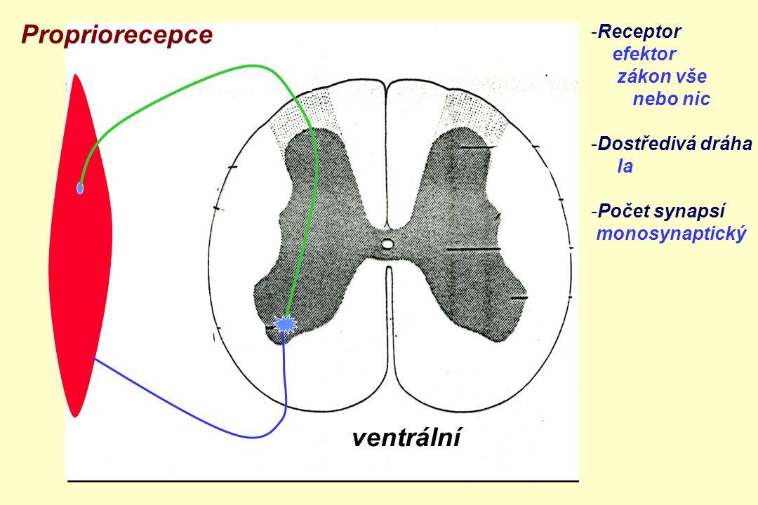 ventrální zadní boční přední roh Propriorecepce -Receptor efektor zákon vše nebo nic -Dostředivá dráha Ia -Počet synapsí monosynaptický