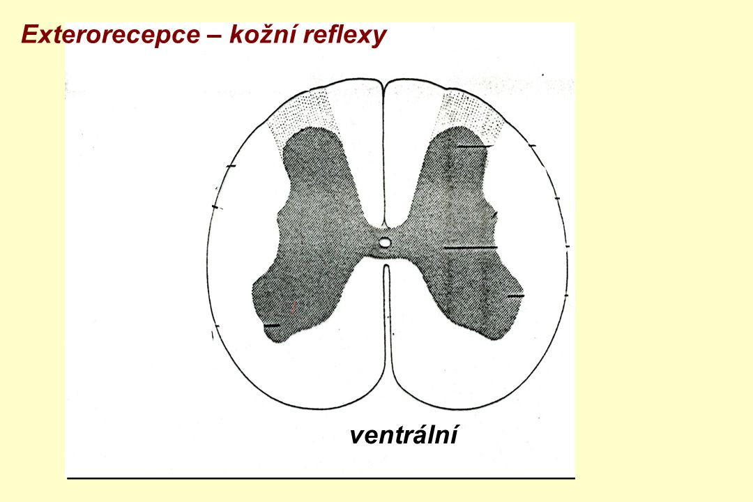 ventrální zadní boční přední roh Exterorecepce – kožní reflexy
