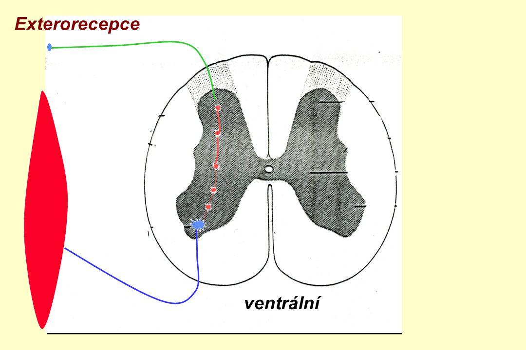 ventrální zadní boční přední roh Exterorecepce