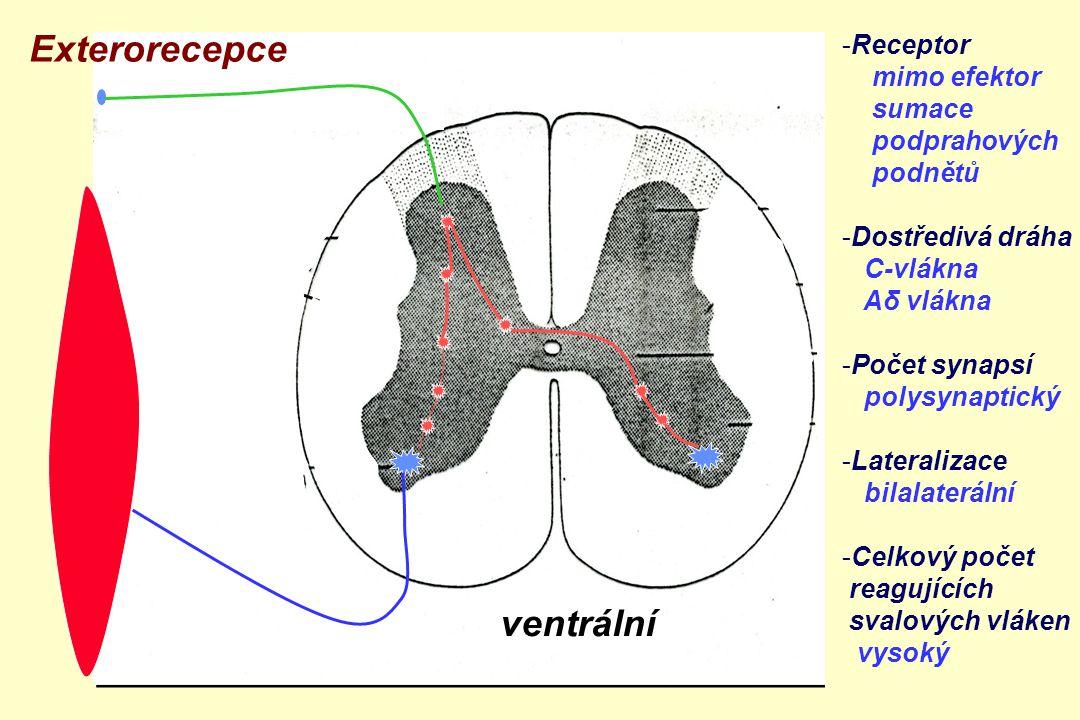 ventrální zadní boční přední roh Exterorecepce -Receptor mimo efektor sumace podprahových podnětů -Dostředivá dráha C-vlákna Aδ vlákna -Počet synapsí