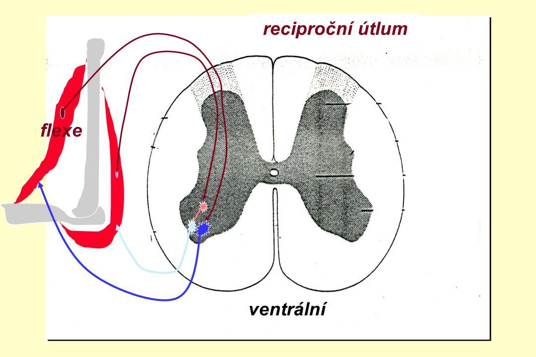 ventrální zadní boční přední roh Propriorecepce -Receptor efektor zákon vše nebo nic -Dostředivá dráha Ia