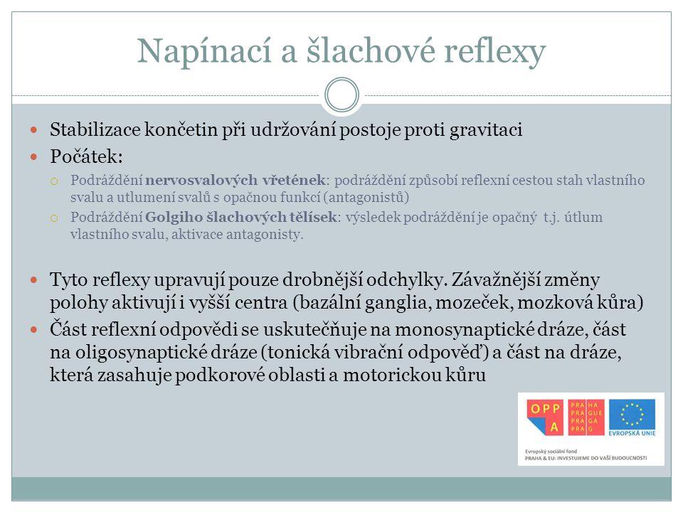Napínací a šlachové reflexy Stabilizace končetin při udržování postoje proti gravitaci Počátek:  Podráždění nervosvalových vřetének: podráždění způso