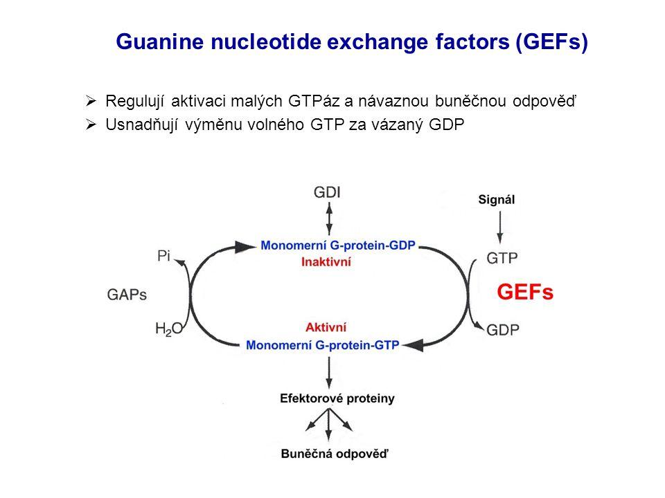 Guanine nucleotide exchange factors (GEFs)  Regulují aktivaci malých GTPáz a návaznou buněčnou odpověď  Usnadňují výměnu volného GTP za vázaný GDP