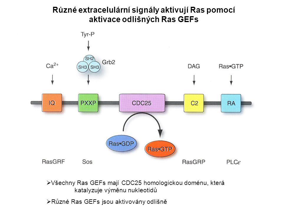 Různé extracelulární signály aktivují Ras pomocí aktivace odlišných Ras GEFs  Všechny Ras GEFs mají CDC25 homologickou doménu, která katalyzuje výměnu nukleotidů  Různé Ras GEFs jsou aktivovány odlišně