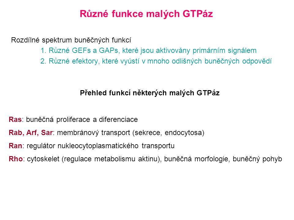 Různé funkce malých GTPáz Rozdílné spektrum buněčných funkcí 1.