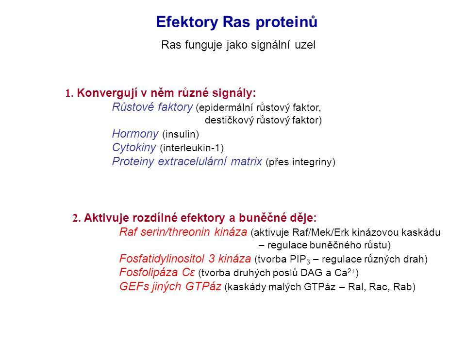 Efektory Ras proteinů Ras funguje jako signální uzel 1.