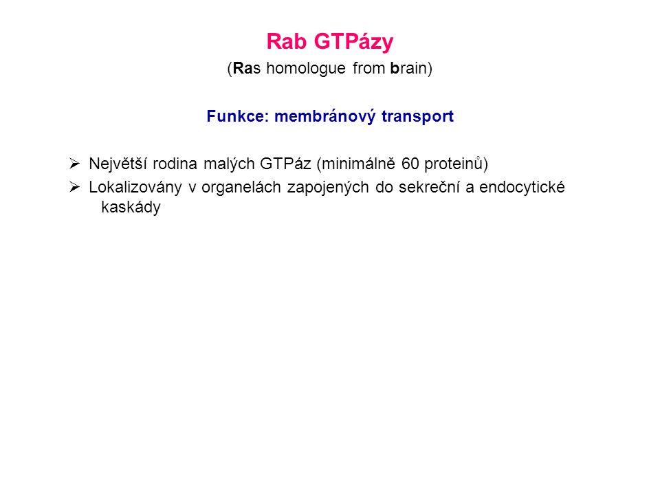 Rab GTPázy (Ras homologue from brain) Funkce: membránový transport  Největší rodina malých GTPáz (minimálně 60 proteinů)  Lokalizovány v organelách zapojených do sekreční a endocytické kaskády