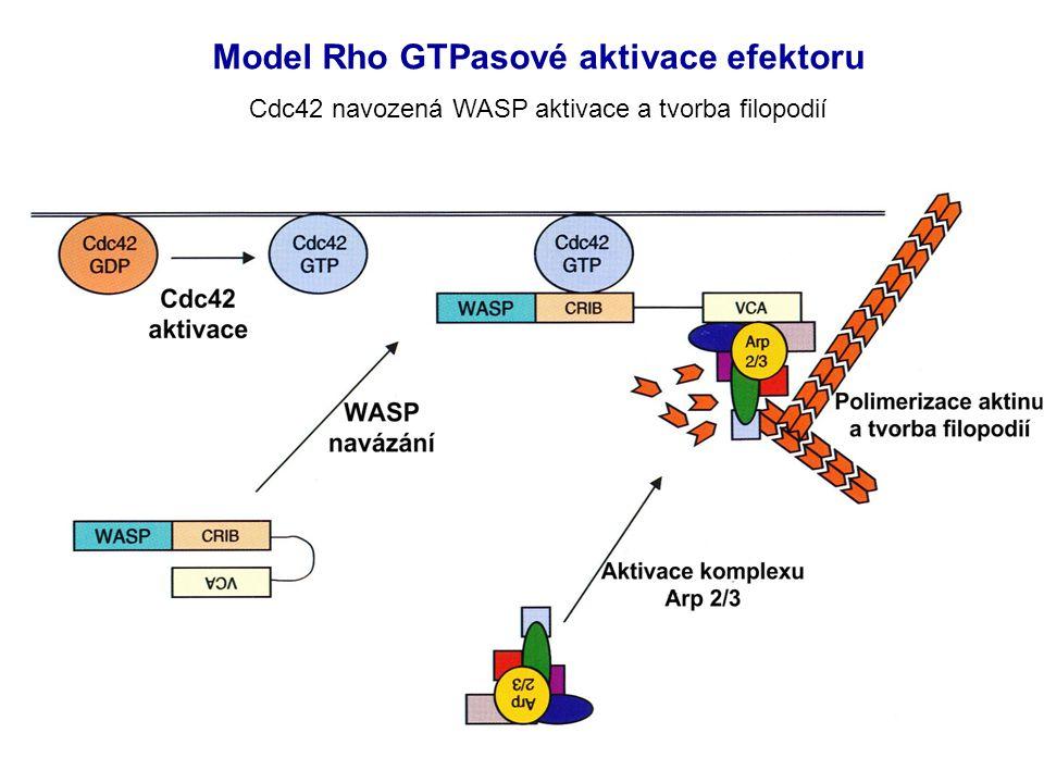 Model Rho GTPasové aktivace efektoru Cdc42 navozená WASP aktivace a tvorba filopodií