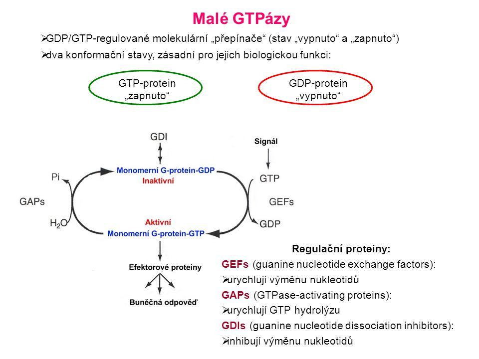 """Malé GTPázy  GDP/GTP-regulované molekulární """"přepínače (stav """"vypnuto a """"zapnuto )  dva konformační stavy, zásadní pro jejich biologickou funkci: GTP-protein """"zapnuto GDP-protein """"vypnuto Regulační proteiny: GEFs (guanine nucleotide exchange factors):  urychlují výměnu nukleotidů GAPs (GTPase-activating proteins):  urychlují GTP hydrolýzu GDIs (guanine nucleotide dissociation inhibitors):  inhibují výměnu nukleotidů"""
