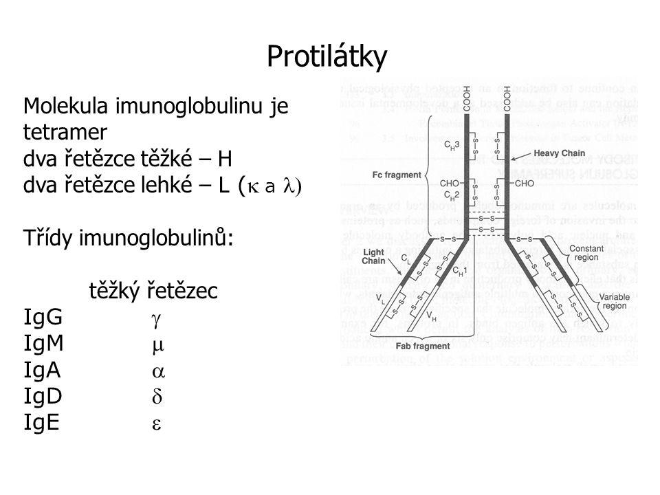 Protilátky Molekula imunoglobulinu je tetramer dva řetězce těžké – H dva řetězce lehké – L ( a  Třídy imunoglobulinů: těžký řetězec IgG  IgM  IgA  IgD  IgE 