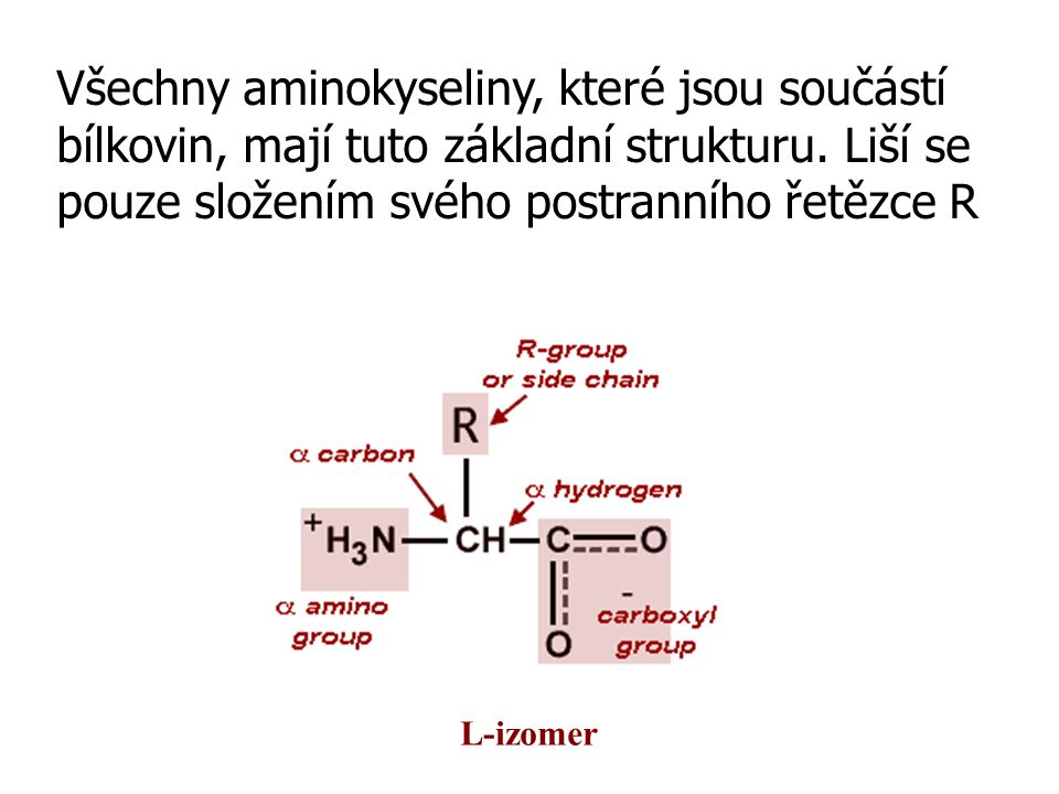 Postranní řetězec R  20 odlišných postranních řetězců → odlišné velikostí, tvarem, nábojem, vazebnou kapacitou a chemickou reaktivitou;  velikost od jediného vodíku (glycin) až po složitý dusíkatý heterocyklus (tryptofan);  sekvence AK v polypeptidové řetězci určují uspořádání trojrozměrné struktury bílkoviny;  vně vyčnívající R interagují s jinými molekulami, určují funkci bílkoviny v buňce.