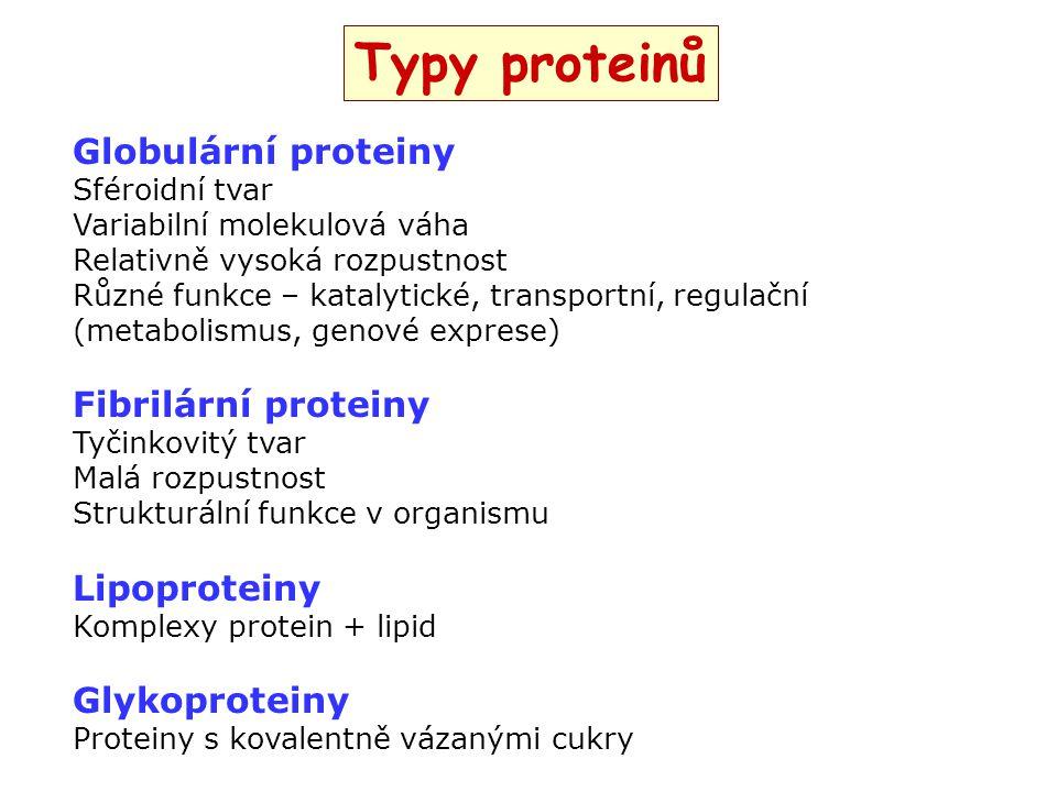 Typy proteinů Globulární proteiny Sféroidní tvar Variabilní molekulová váha Relativně vysoká rozpustnost Různé funkce – katalytické, transportní, regu