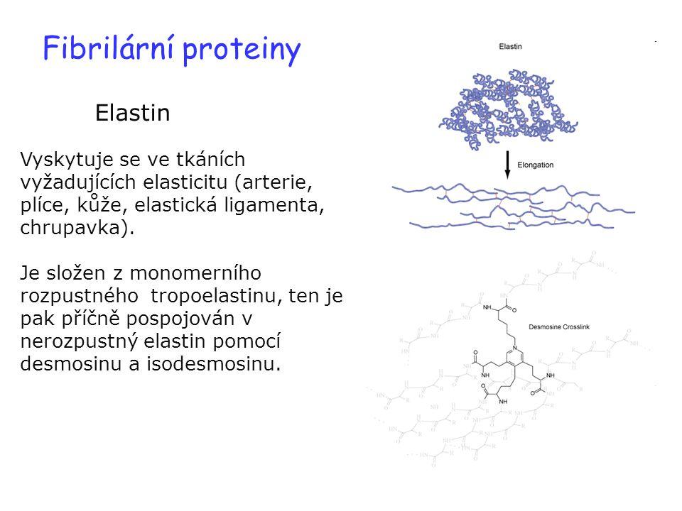 Fibrilární proteiny Elastin Vyskytuje se ve tkáních vyžadujících elasticitu (arterie, plíce, kůže, elastická ligamenta, chrupavka). Je složen z monome