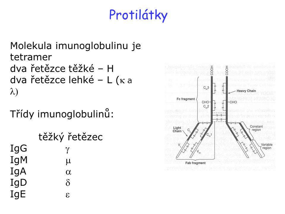 Protilátky Molekula imunoglobulinu je tetramer dva řetězce těžké – H dva řetězce lehké – L ( a  Třídy imunoglobulinů: těžký řetězec IgG  IgM  IgA