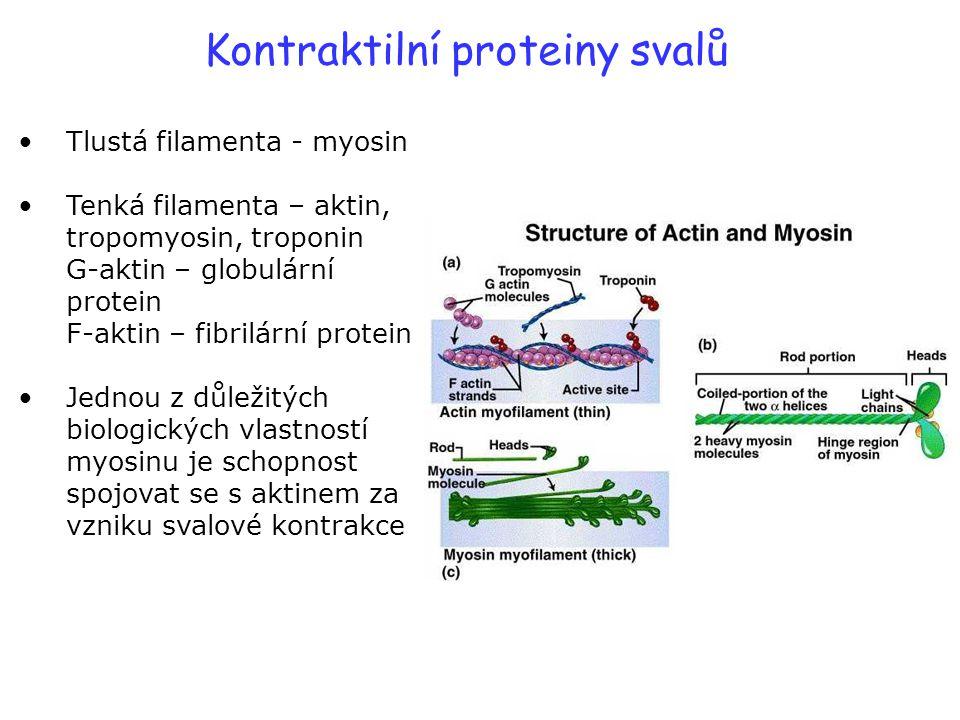 Kontraktilní proteiny svalů Tlustá filamenta - myosin Tenká filamenta – aktin, tropomyosin, troponin G-aktin – globulární protein F-aktin – fibrilární