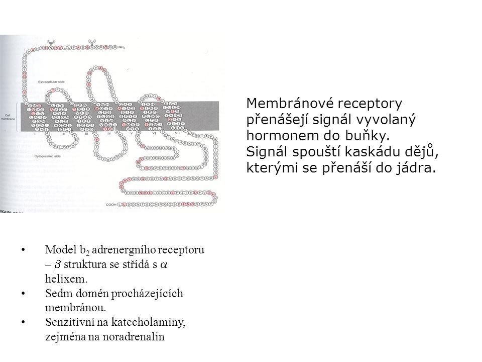 Model b 2 adrenergního receptoru –  struktura se střídá s  helixem. Sedm domén procházejících membránou. Senzitivní na katecholaminy, zejména na nor